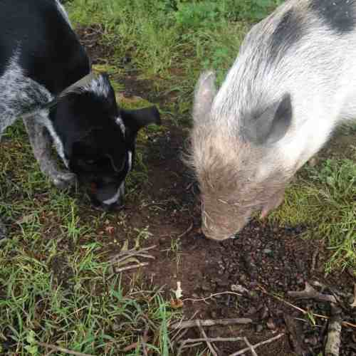 Clover the Pig and Amity