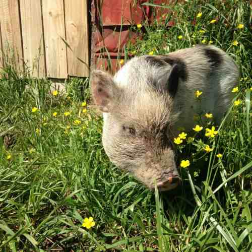 Clover the Pig at the Big Red Barn