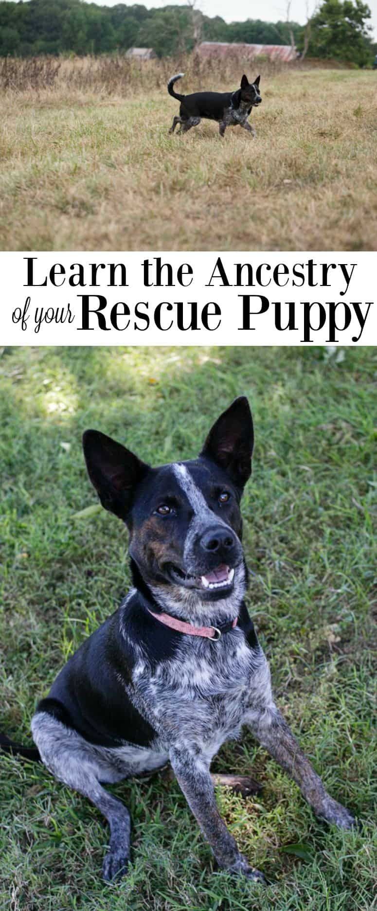 Learn the DNA in your rescue puppy