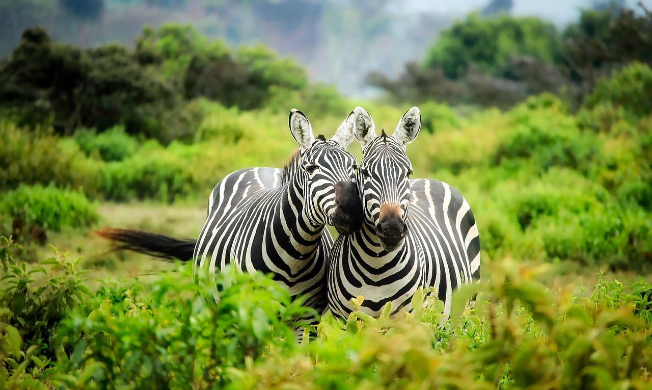 Top Tips For Going On Safari may include finding zebras in the forest