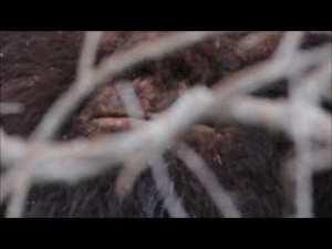 Amazing Bigfoot sighting on a Sasquatch expedition