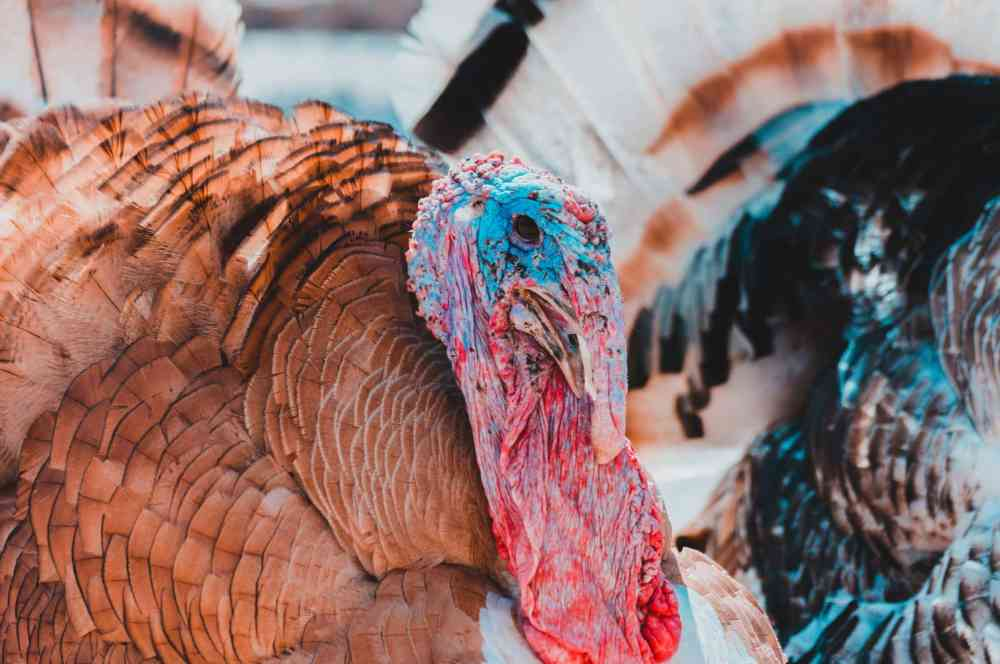 medium resolution of aging a wild turkey is not an exact science knowing the difference between a juvenile bird also known as a jake and a mature gobbler is simple enough