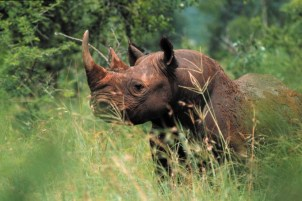 Black Rhino at Mkhaya Game Reserve 1