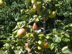 This a picture I took at Drazen Orchards in Connecticut in 2012.