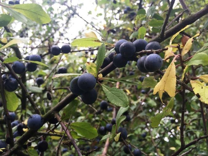 Sloes on a Hawthorn Bush
