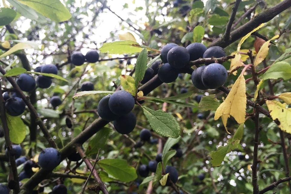 Want to make some sloe gin?