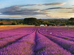 My ThreeGallery submission looking down from the top of the Hitchin Lavender fields