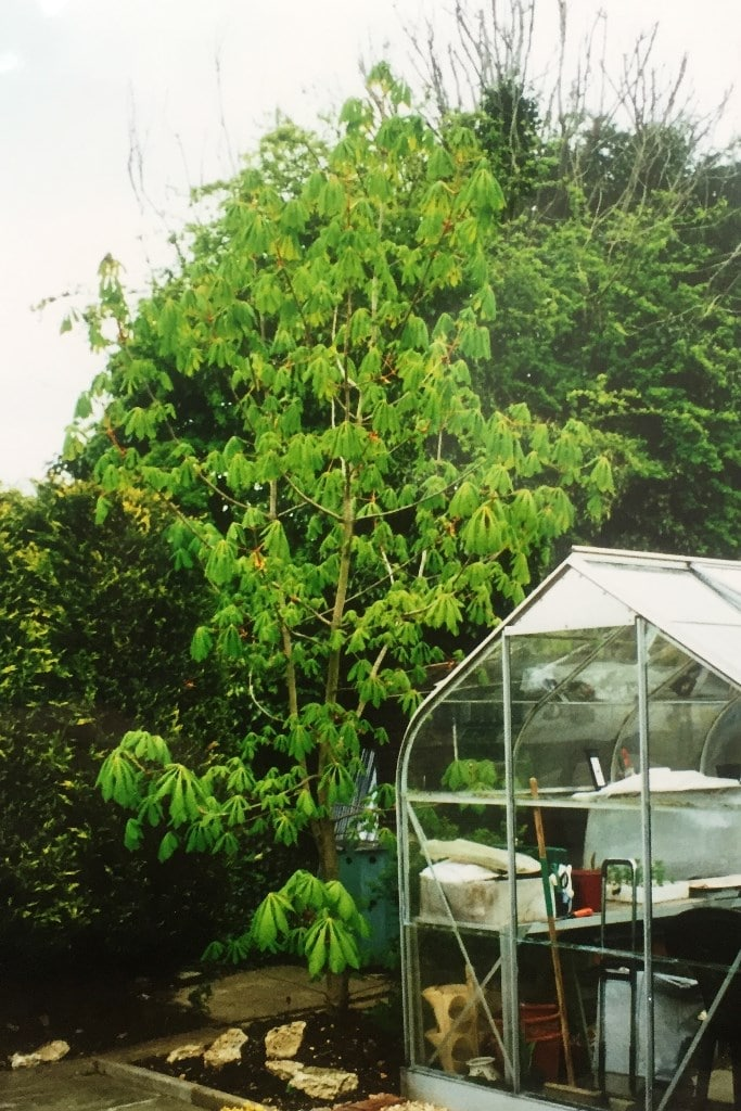 The 11 year old conker tree behind the greenhouse