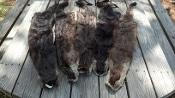Otter Pelts