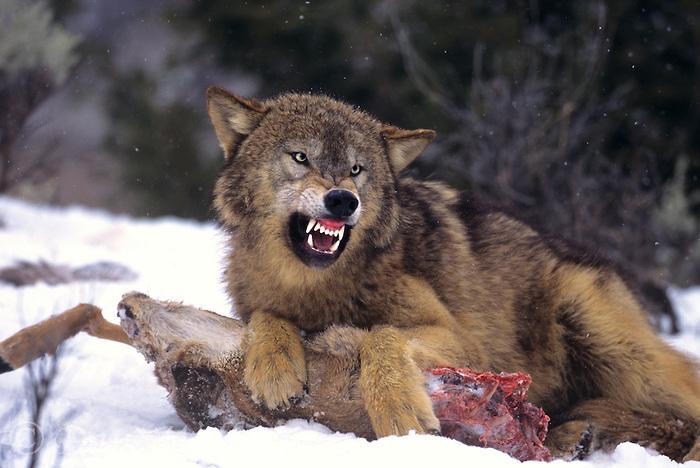 wolf killing deer