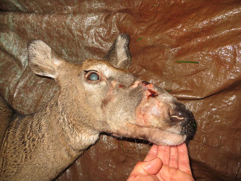 big nose deer