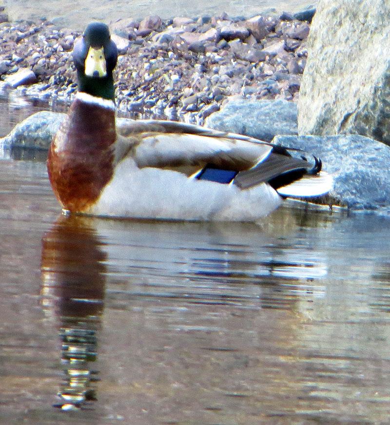 A Mallard and his reflection