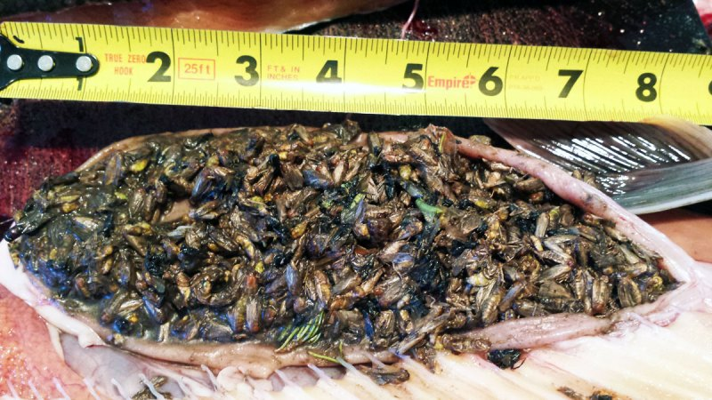 Lake Trout Stomach Contents