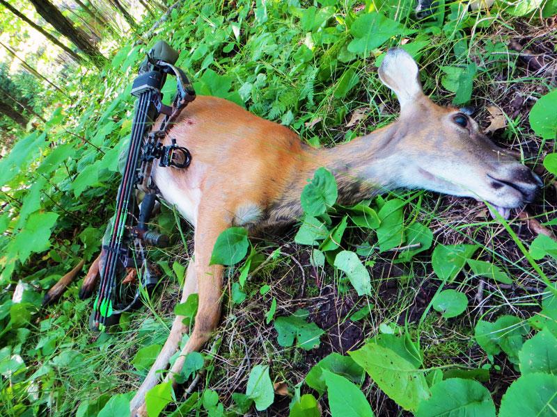 bowhunting whitetail deer in minnesota
