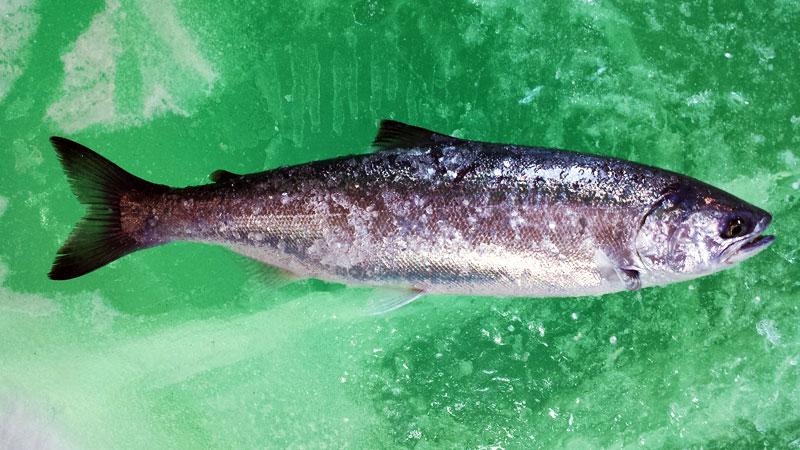 Ice fishing Coho Salmon Lake Superior