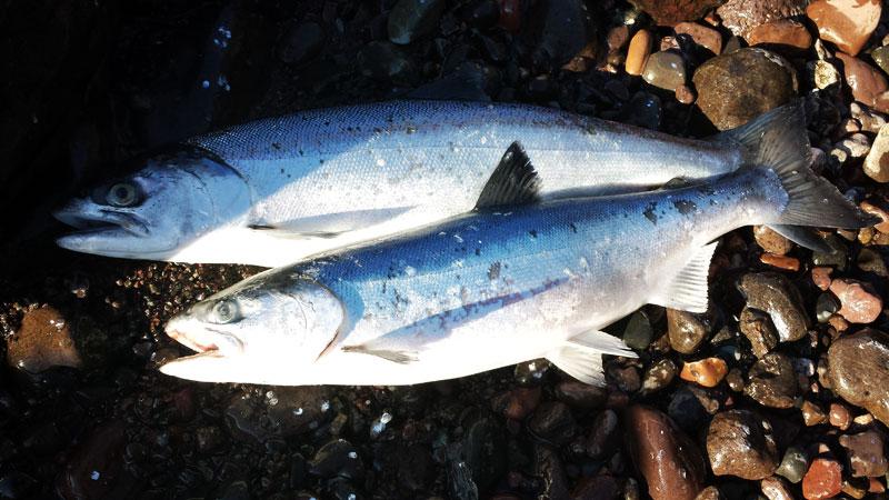 fishing coho salmon lake superior