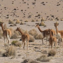 Vicuñas in Lauca National Park, Chile