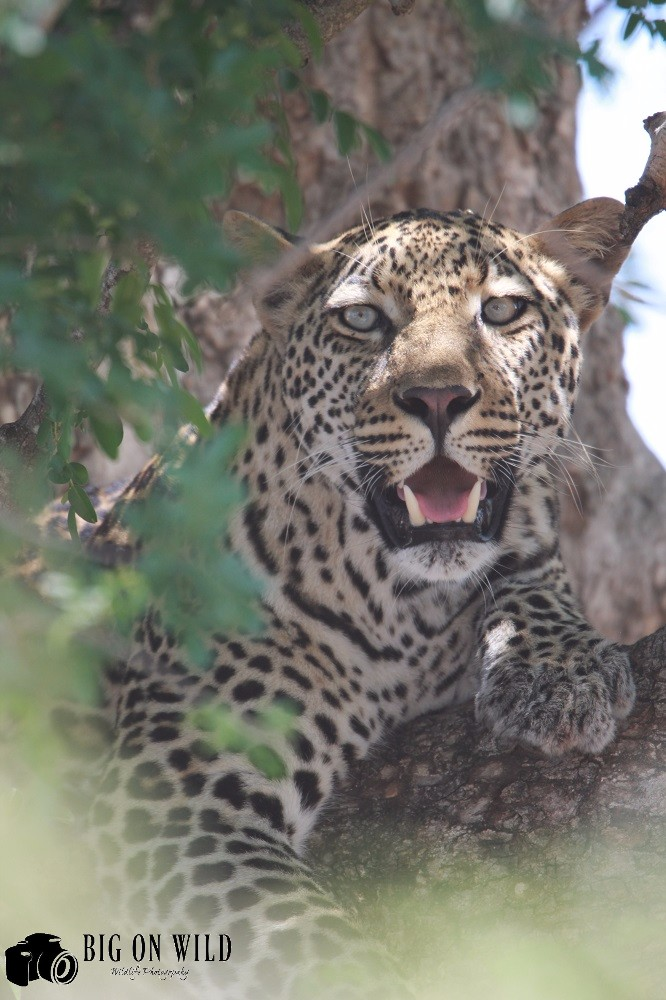 Top 5 roads for spotting leopards in the kruger national park