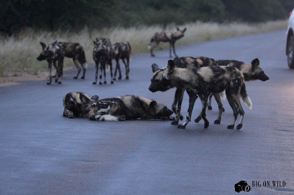 Top 5 Roads for Spotting Wild dogs
