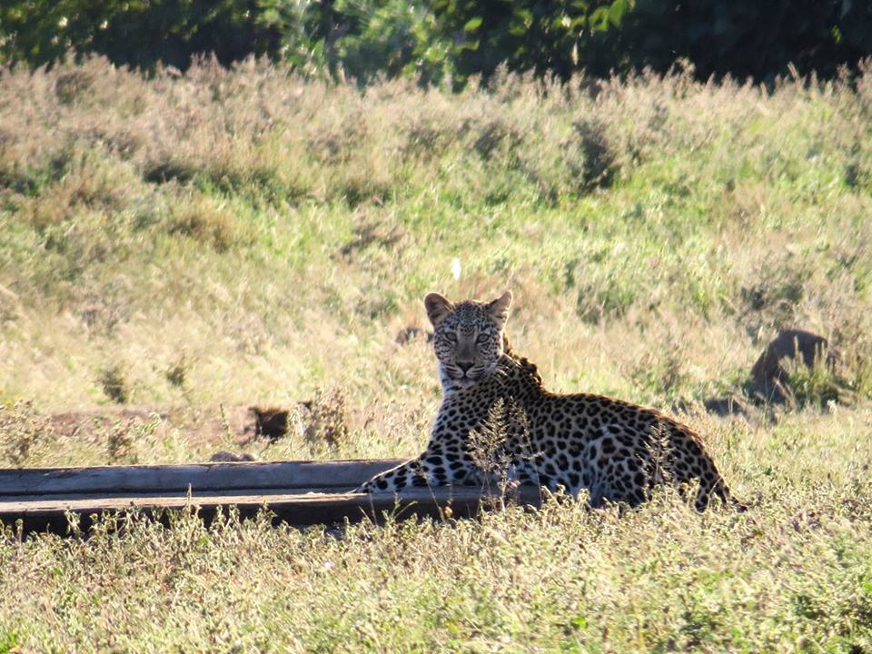 leopard seen at masorini picnic site