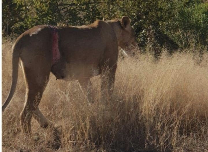Lioness with cubs saved from snare