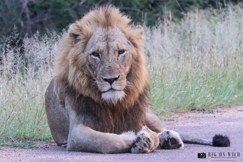 LubyeLubye Male Lion