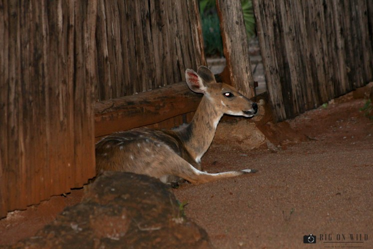 Animals found inside Kruger Park camps