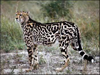 Genetic Defects in African Animals