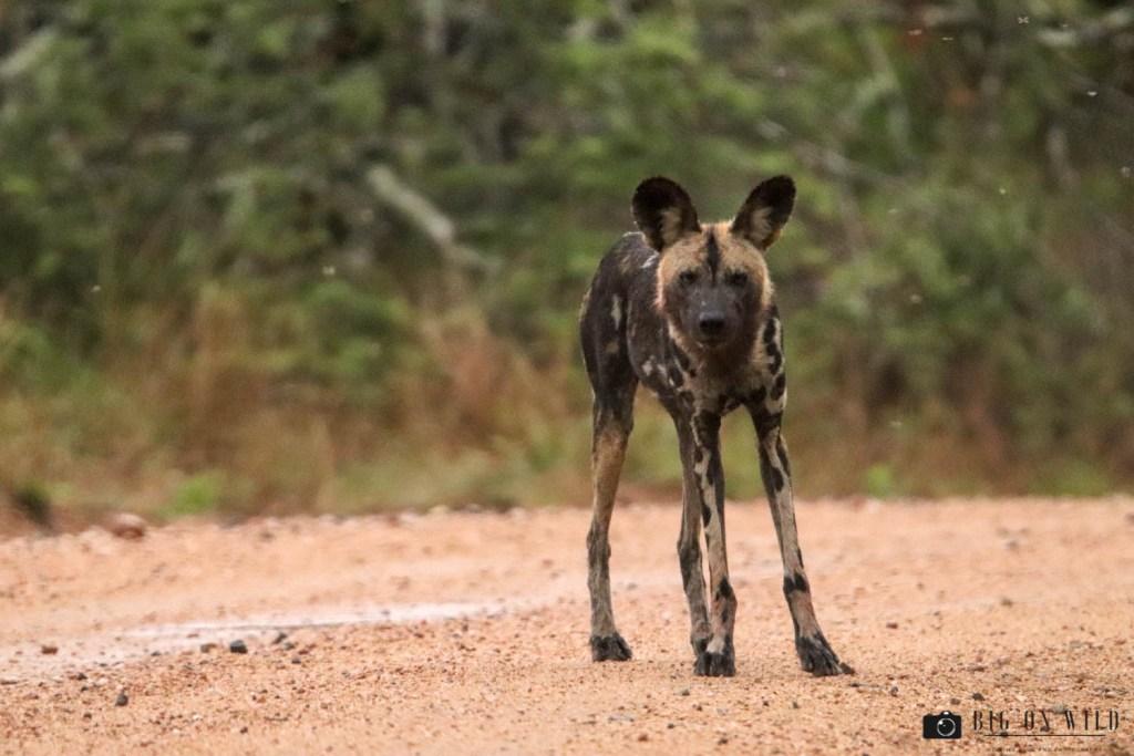 Kruger Trip December 2018 - wild dogs on the S26 in the Kruger national park