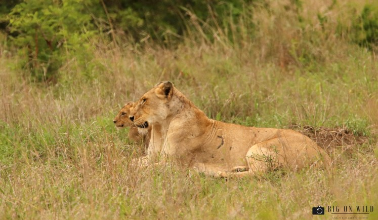 Kruger Trip December 2018, lioness with cub on the H10 in the Kruger National Park