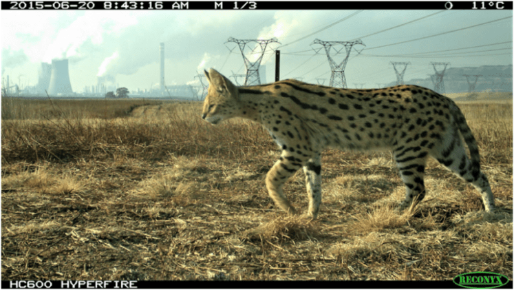 Serval Thrives at Petrochemical Plant in South Africa