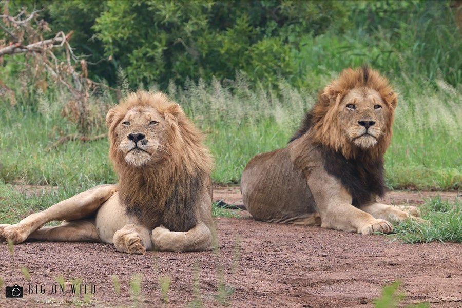 top roads for spotting lions