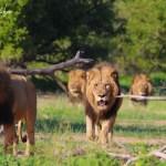 Shishangeni Male Lions