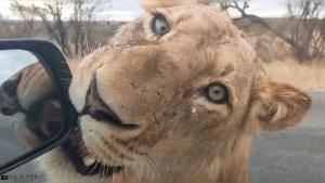 Lion at my window