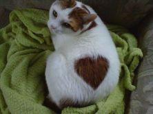 gato-corazon-pelaje
