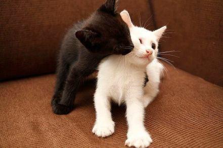 gatos-beso