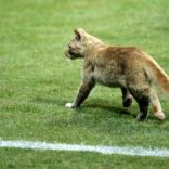 A stray cat runs on the pitch during the soccer match between United Arab Emirates and Honduras in the FIFA U-20 World Cup in Alexandria