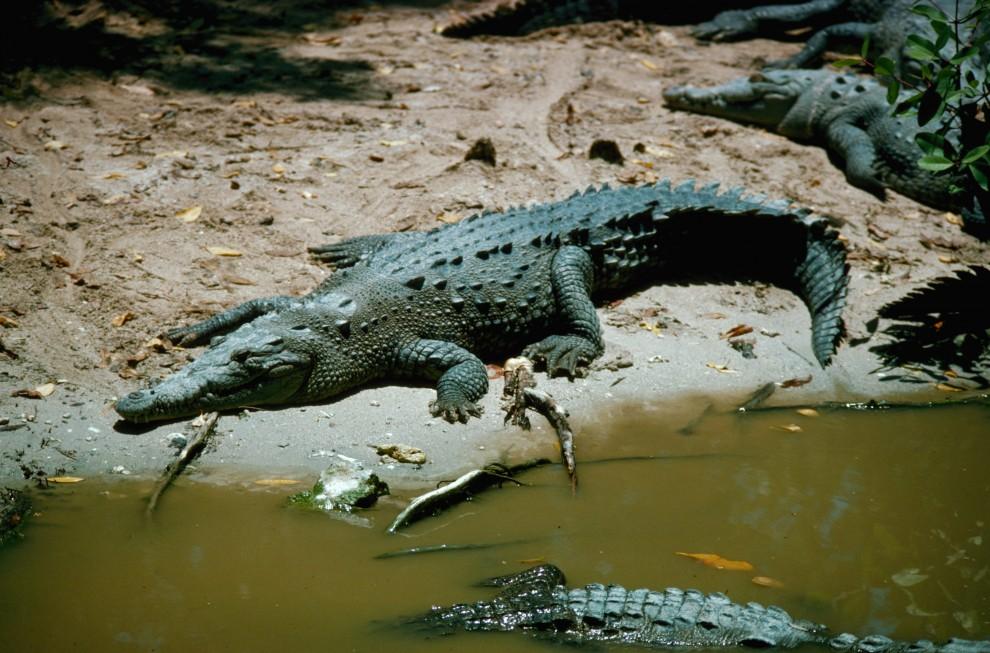 2613 990x653 Обои для рабочего стола: Крокодилы