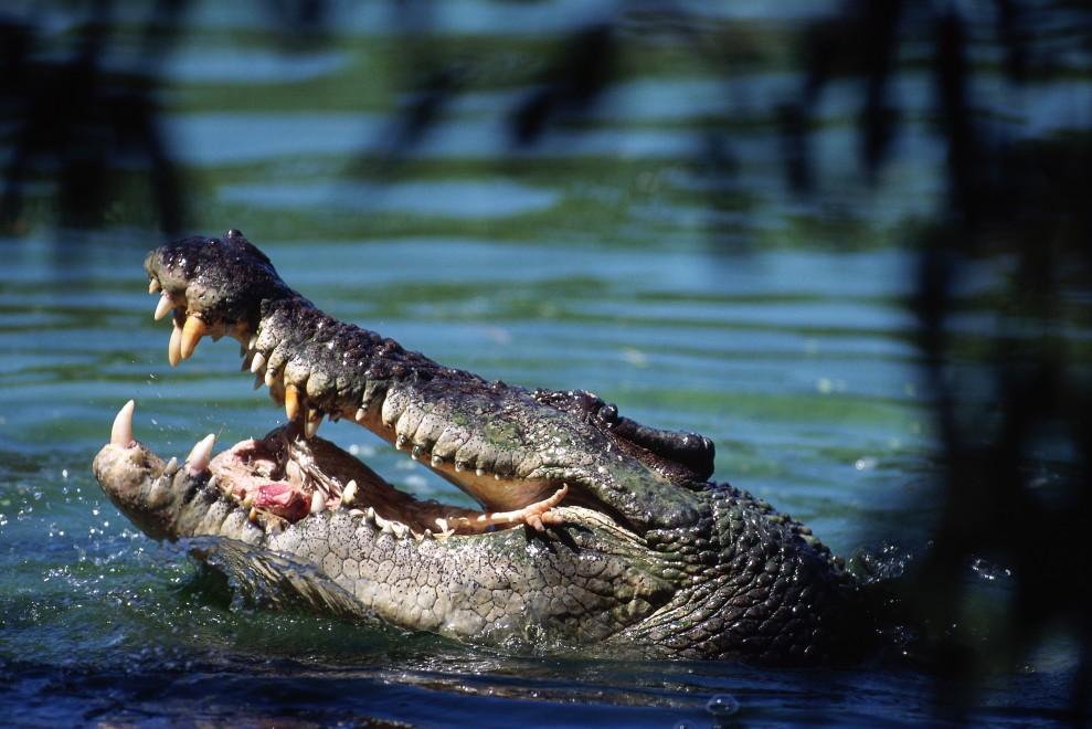 3013 989x660 Обои для рабочего стола: Крокодилы