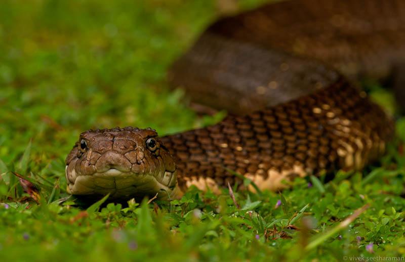 Королевская кобра : удивительные факты