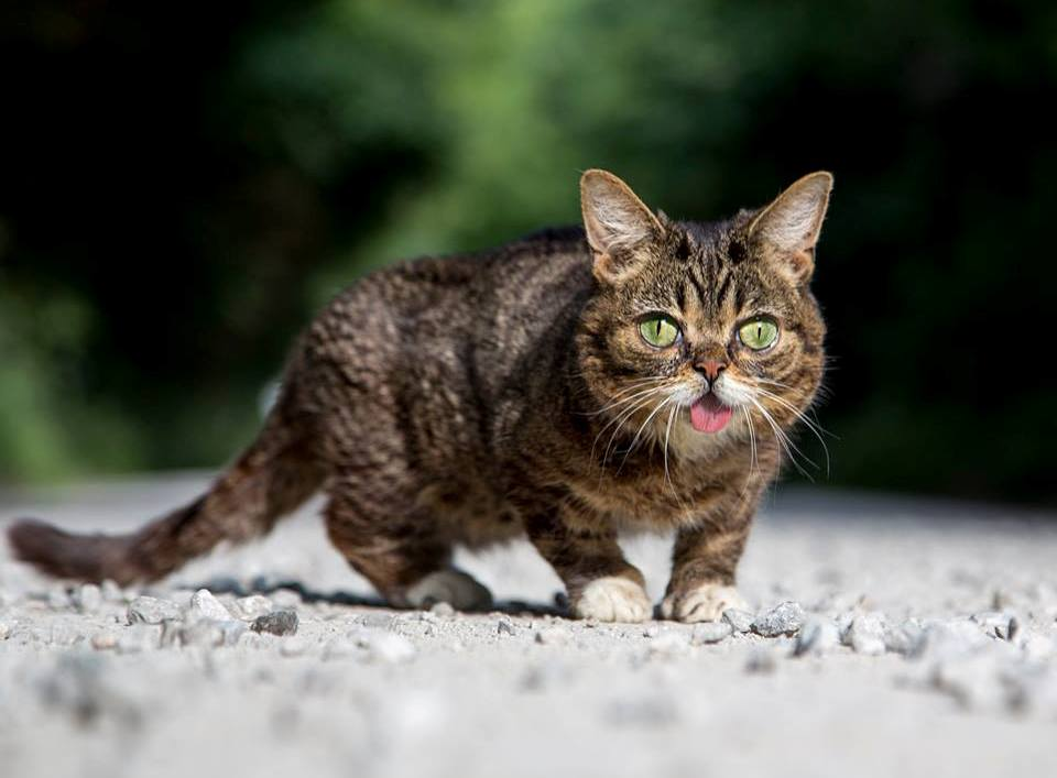 Умерла кошка Лил Баб, умилявшая миллионы пользователей своей мордочкой