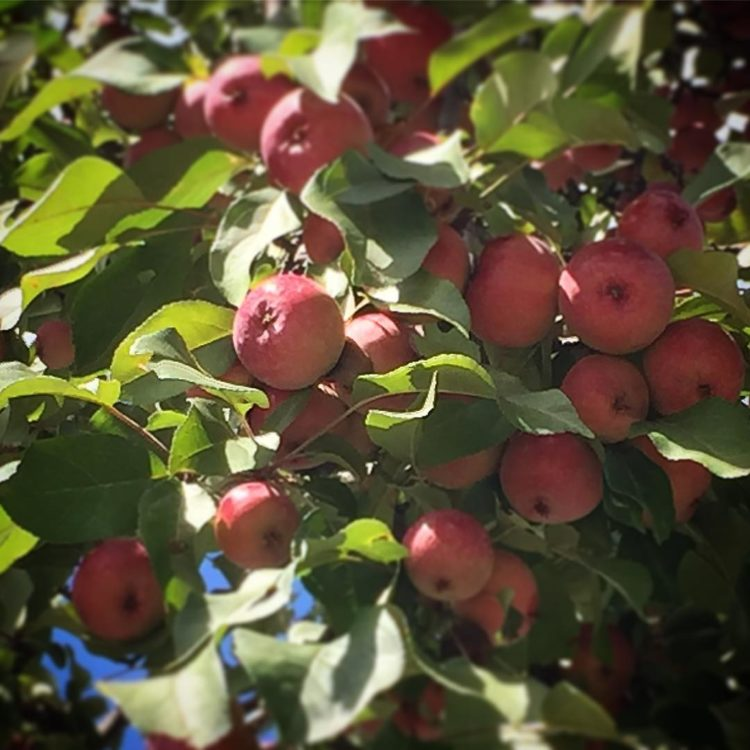One apple, two apples, three apples, four, one of the things I love about September is fall's at the door.