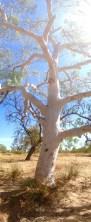 Gumtree