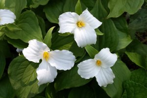 Three large-flowered trilliums.