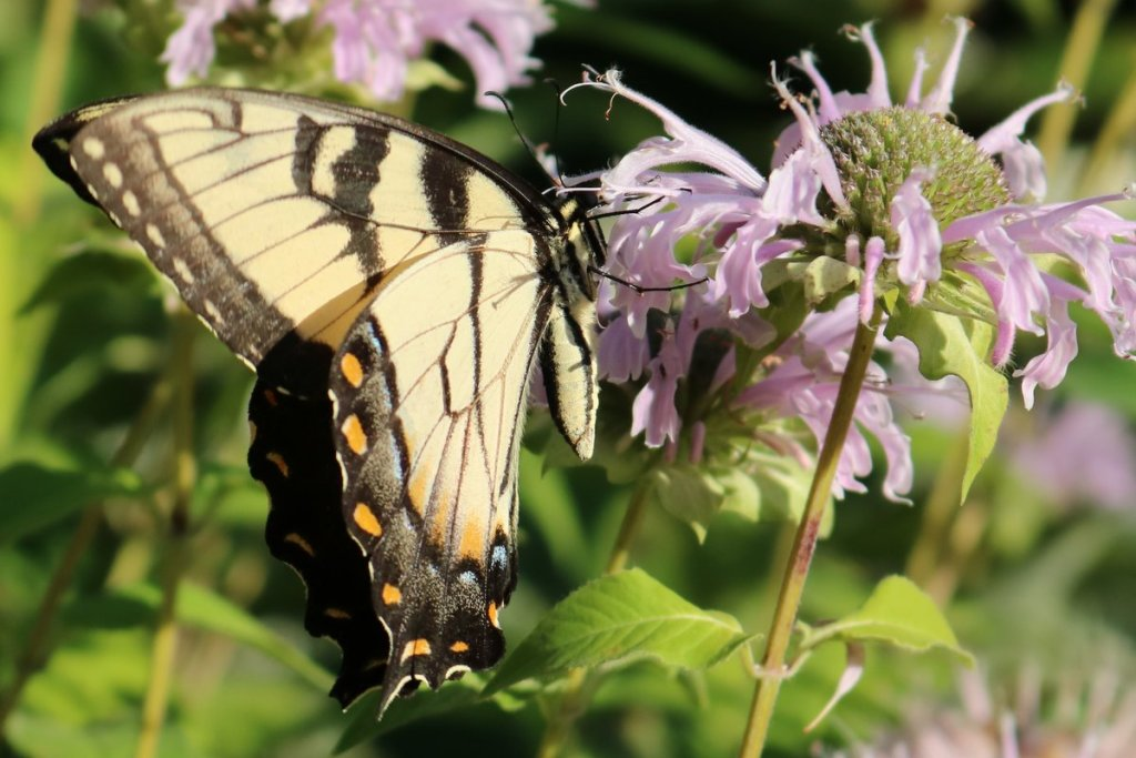 Tiger swallowtail on monarda.