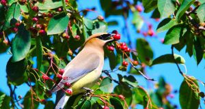cedar waxwing in serviceberry