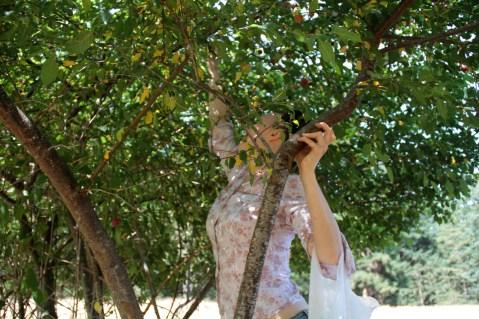 picking wild Gabriola plums