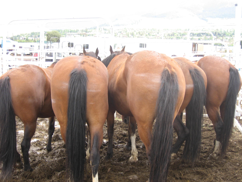 Horses asses