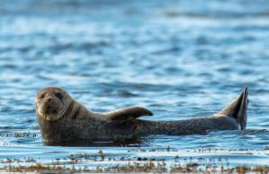 Grey seal at Ullapool, Scotland