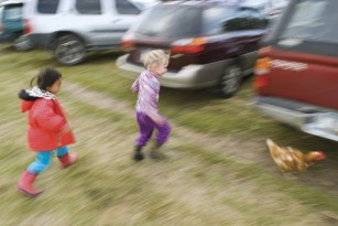 Free range chicken chase at a local feast during the Gallatin Valley Community Farm Tour.